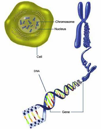 Cell and DNA structure