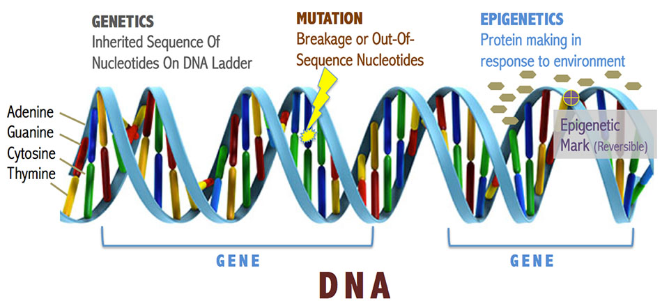 DNA: genetics vs mutation vs epigenetics vs