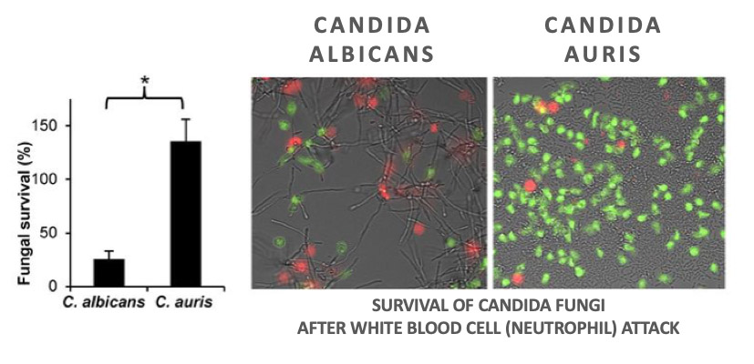 Survival of candida fungi: candida albicans vs auris
