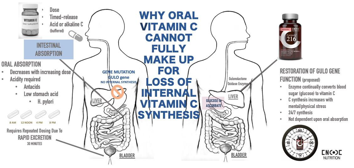 Why Oral Vitamin C can't make up for loss of internal Vitamin C synthesis