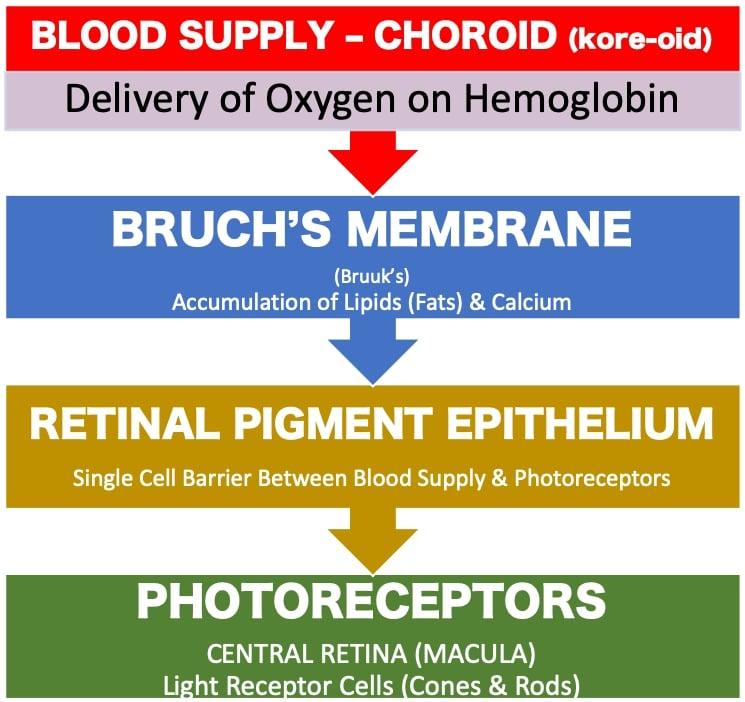 Retinal Organization