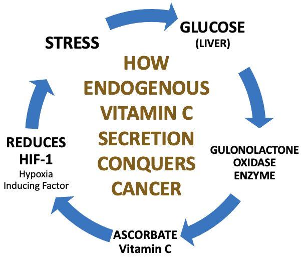Cycle: Vitamin C secretion - cancer