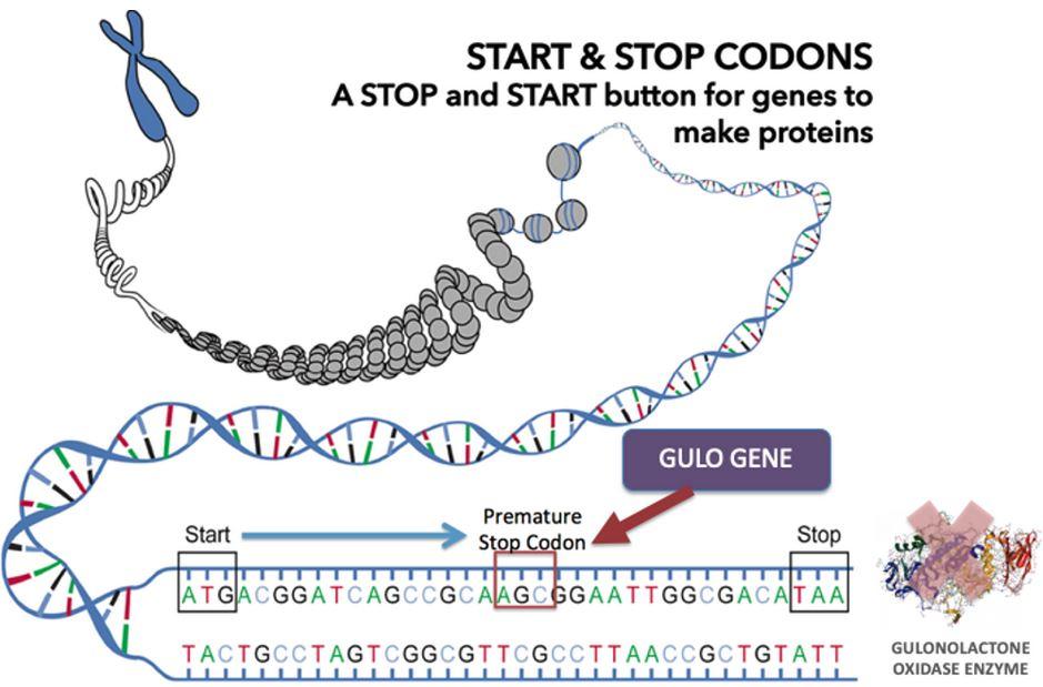 DNA - Gulo Gene